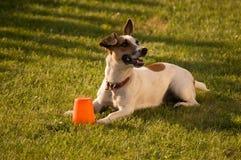 Sorridere del cane del Jack Russel Fotografia Stock