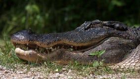 Sorridere del coccodrillo fotografia stock
