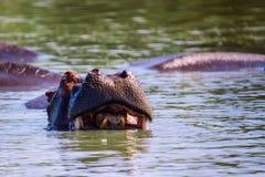 Sorridere dell'ippopotamo Fotografia Stock Libera da Diritti