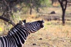 Sorridere della zebra Fotografia Stock
