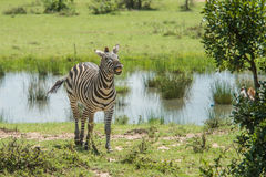 Sorridere della zebra Fotografie Stock Libere da Diritti