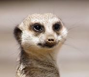 Sorridere di Meerkat Fotografie Stock