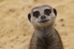 Sorridere di Meerkat Immagini Stock Libere da Diritti