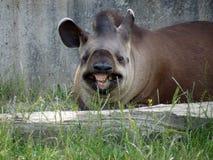Sorridere divertente del tapiro di terrestris del Tapirus Fotografie Stock