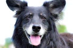 Sorridere nero felice del cane da pastore delle collie Fotografia Stock Libera da Diritti