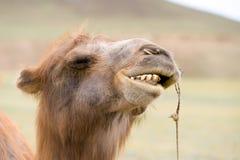 Sorrir forçadamente dos camelos Fotografia de Stock Royalty Free
