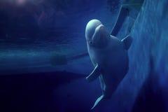 Sorriso del beluga Fotografia Stock
