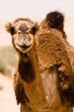 Sorriso del cammello Fotografia Stock