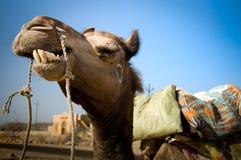Sorriso del cammello Fotografie Stock Libere da Diritti
