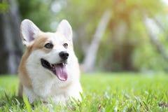 Sorriso del cane del Corgi e felice sull'erba Immagini Stock Libere da Diritti