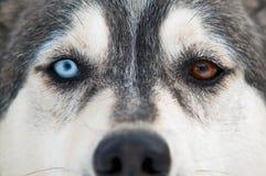 Sorriso del cane del husky Fotografia Stock Libera da Diritti