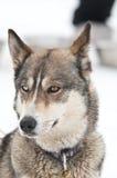 Sorriso del cane del husky Immagini Stock