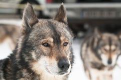 Sorriso del cane del husky Fotografie Stock Libere da Diritti