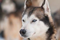 Sorriso del cane del husky Immagini Stock Libere da Diritti