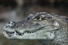 Sorriso del coccodrillo Fotografie Stock