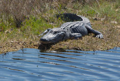 Sorriso dell'alligatore Immagine Stock Libera da Diritti