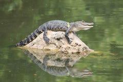 Sorriso dell'alligatore su roccia Immagini Stock