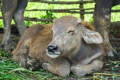 Sorriso della mucca Fotografia Stock Libera da Diritti