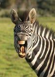 Sorriso della zebra. Fotografie Stock