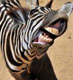 Sorriso della zebra immagine stock
