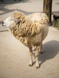 Sorriso delle pecore Fotografia Stock
