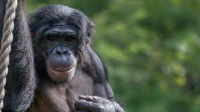 Sorriso dello scimpanzè Fotografie Stock Libere da Diritti