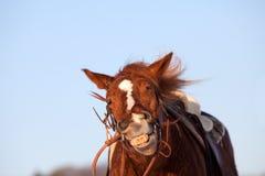 Sorriso divertente del cavallo Fotografia Stock Libera da Diritti