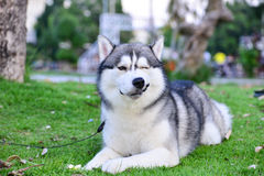 Sorriso do cão de puxar trenós Siberian Foto de Stock Royalty Free