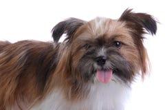 Sorriso do cachorrinho na câmera foto de stock