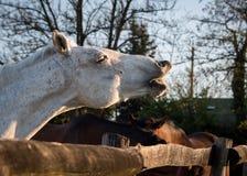 Sorriso do cavalo Imagem de Stock