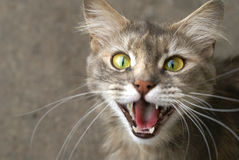Sorriso do gato Imagem de Stock