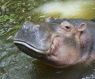 Sorriso do hipopótamo foto de stock