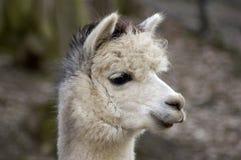 Sorriso do Lama sábio. Imagem de Stock Royalty Free