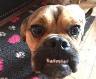 Sorriso do puggle do cão feliz fotografia de stock