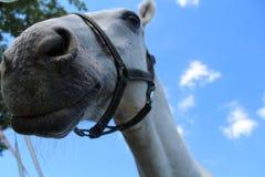 Sorriso dos cavalos brancos Fotos de Stock Royalty Free