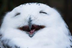 Sorriso feliz coruja nevado branca e selvagem, bocejando com os olhos fechados na manhã foto de stock royalty free