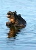 Sorriso marinho da iguana fotos de stock