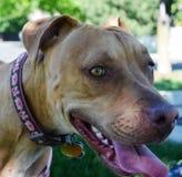 Sorriso rosso del pitbull fotografia stock libera da diritti