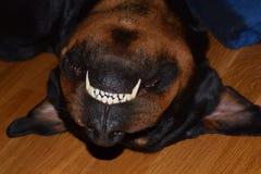 Sorriso Rottweiler di sonno Fotografie Stock Libere da Diritti