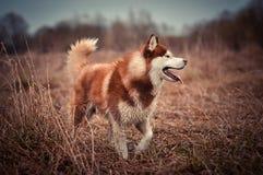 Sorriso vermelho do cão de puxar trenós siberian Fotografia de Stock