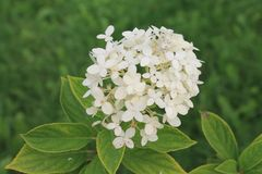 Sorrisos brancos da flor da hortênsia no sol Flor da hortênsia em um fundo isolado fotos de stock