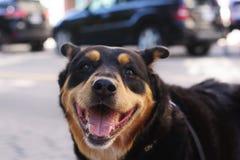 Sorrisos felizes do Doberman na câmera fotografia de stock royalty free