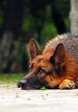 Sorrow shepherd dog. Outdoor photography Stock Images