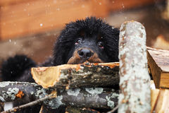 Sorrow. Tibetan Mastiff 4 months longs on the firewoods under the snow Stock Photo