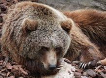 Sorrowful bear Stock Image