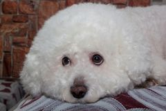 Sorrowful bichon frise is lying on a soft pillow. Pet animals Stock Photo