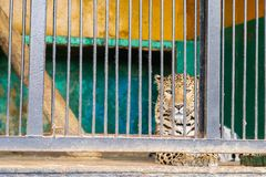 Sorrowful cheetah looking from the cage.Cheetah in the cage.  Royalty Free Stock Image