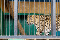 Sorrowful cheetah looking from the cage.Cheetah in the cage.  Stock Images