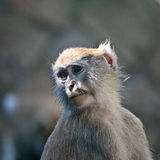 Sorrowful monkey. A monkey closed in its cage, apparently sorrowful and full of melancholy Royalty Free Stock Photography