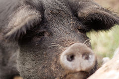 Sorrowful Swine. Sad and lonely pig who just lost her mate on a small farm stock photo